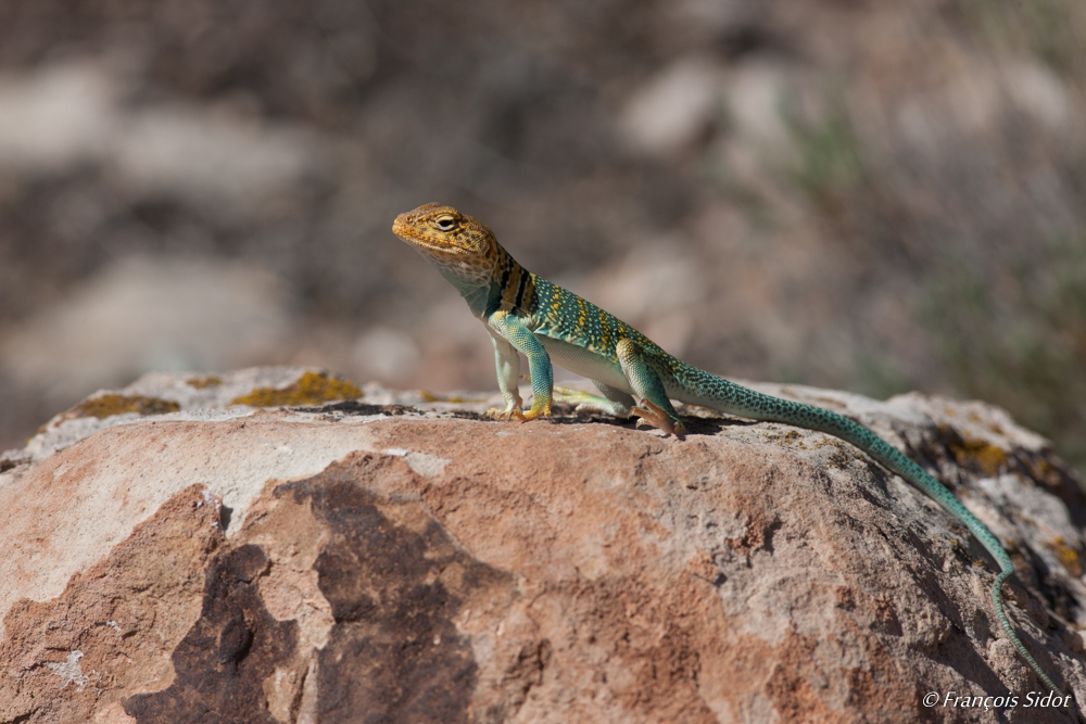 Western Collared Lizard (Crotaphytus collaris)