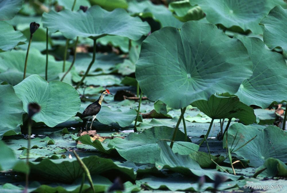 Comb-crested Jacana and lotus (Jacana gallinacea)