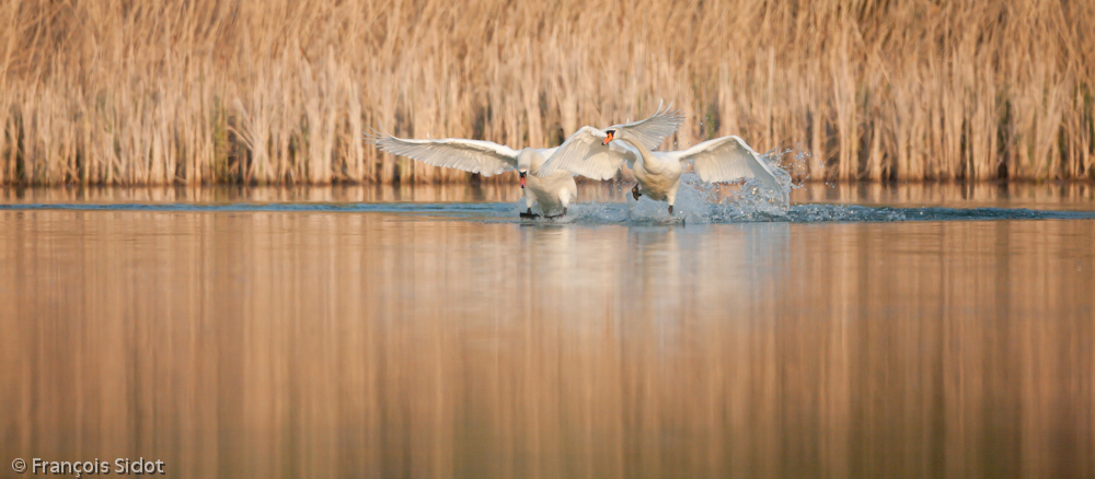 Battle of swans