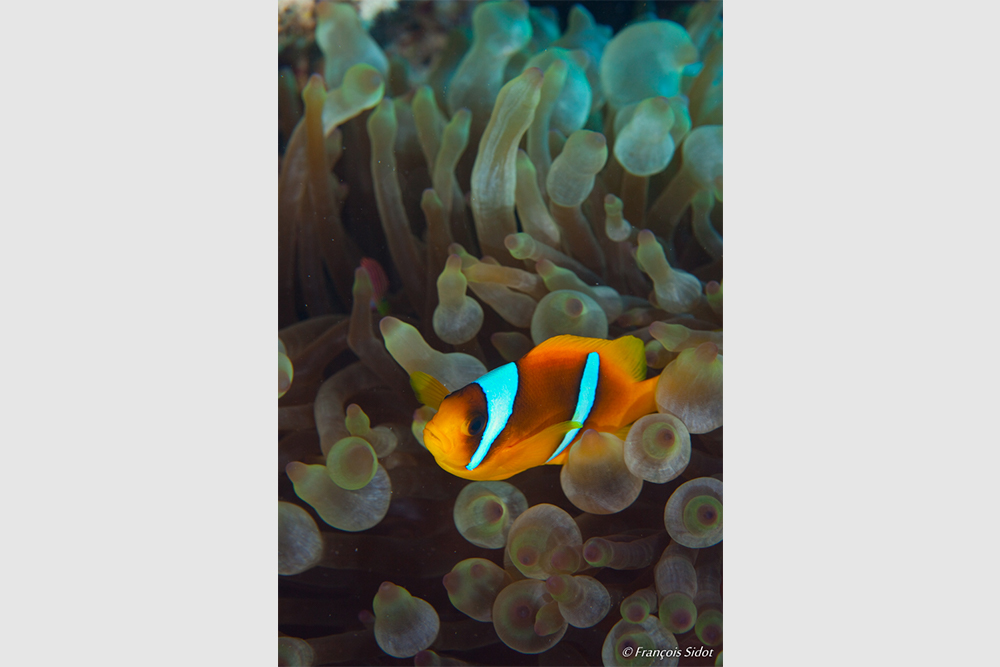 Twoband Anemonefish (Amphiprion bicinctus) and anemone