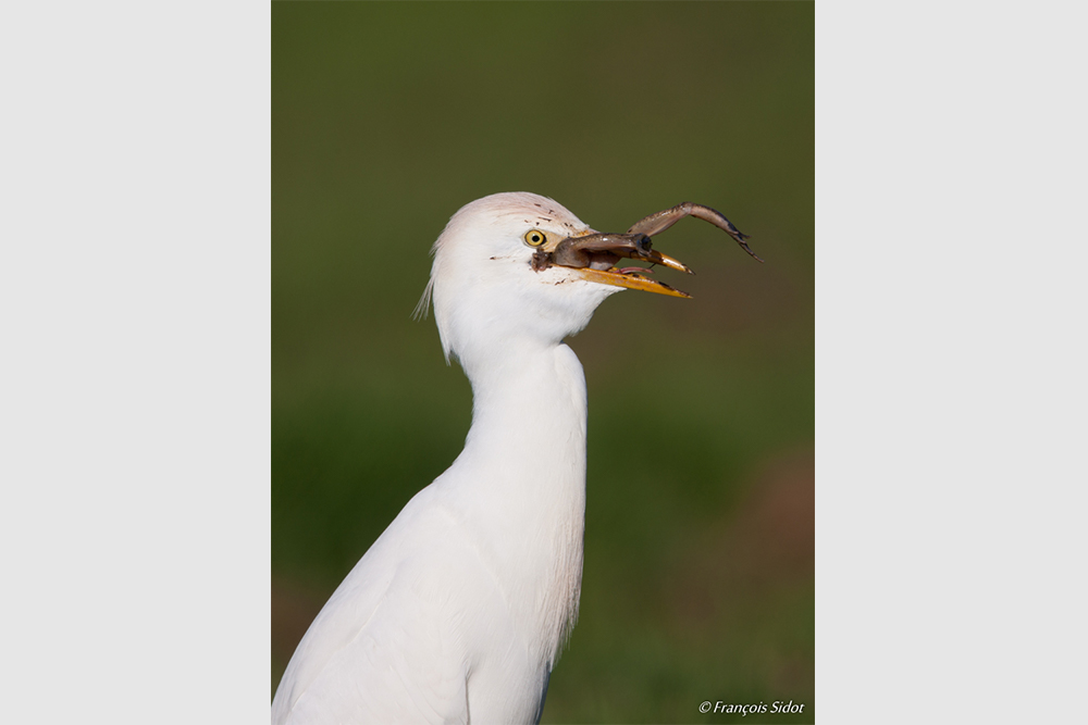 Cattle egret (Bubulcus ibis) and frog