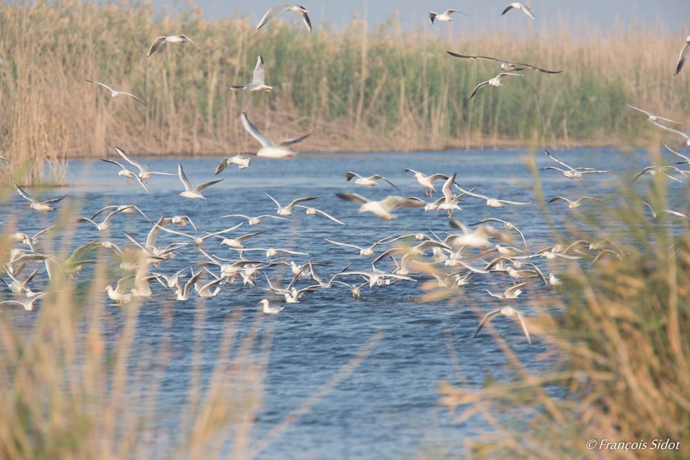 Flock of Slender-billed Gulls (Larus genei)