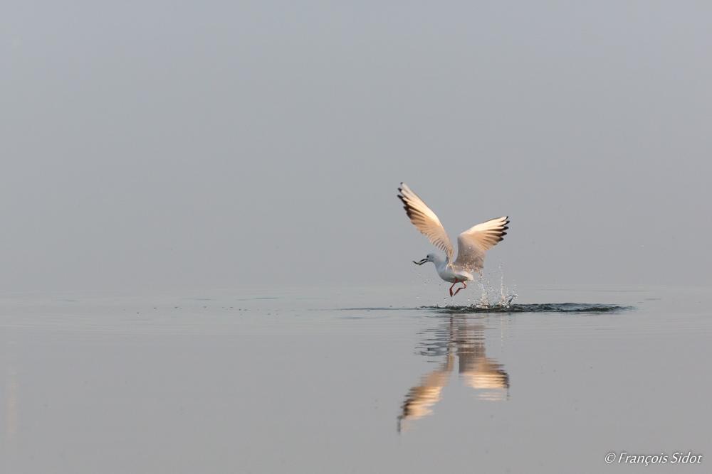 Flying Slender-billed Gull (Larus genei)