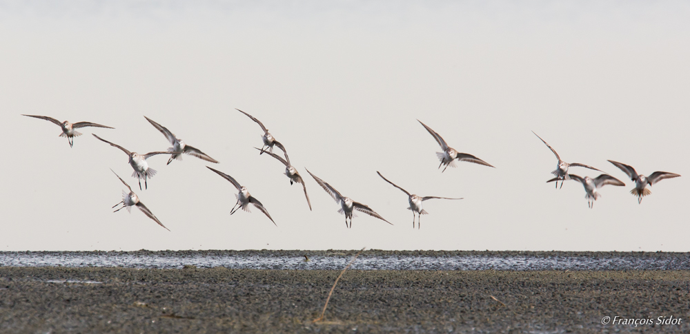 A flock of Common Sandpipers (Actitis hypoleucos)
