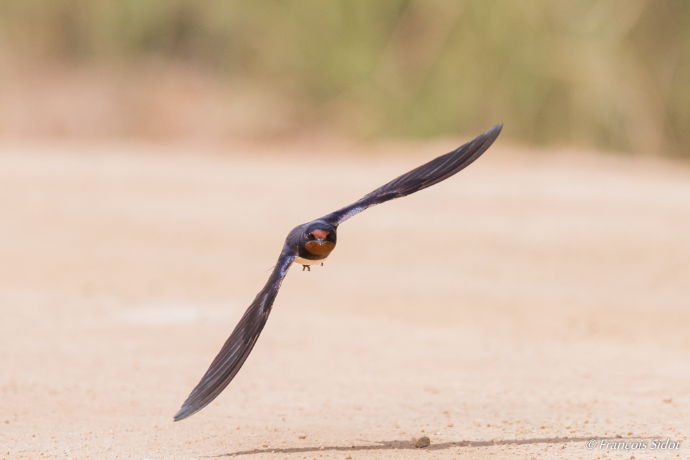 Flying Barn Swallow (Hirundo rustica)