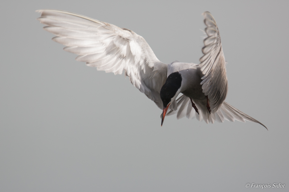Flying White-cheeked Tern (Sterna repressa)