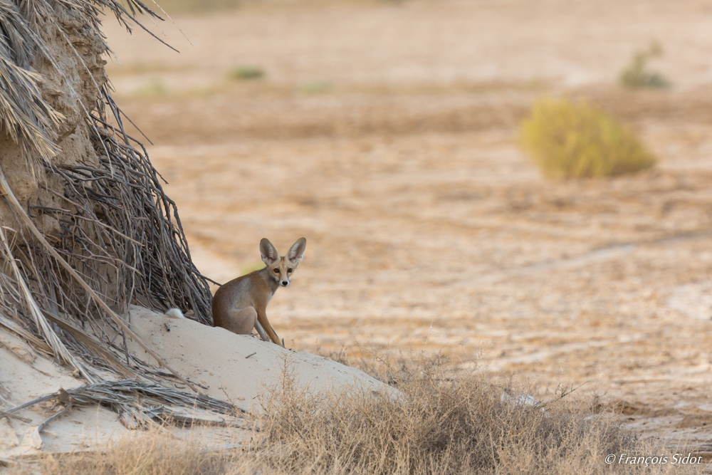 Rüppell's fox  (Vulpes rueppellii)