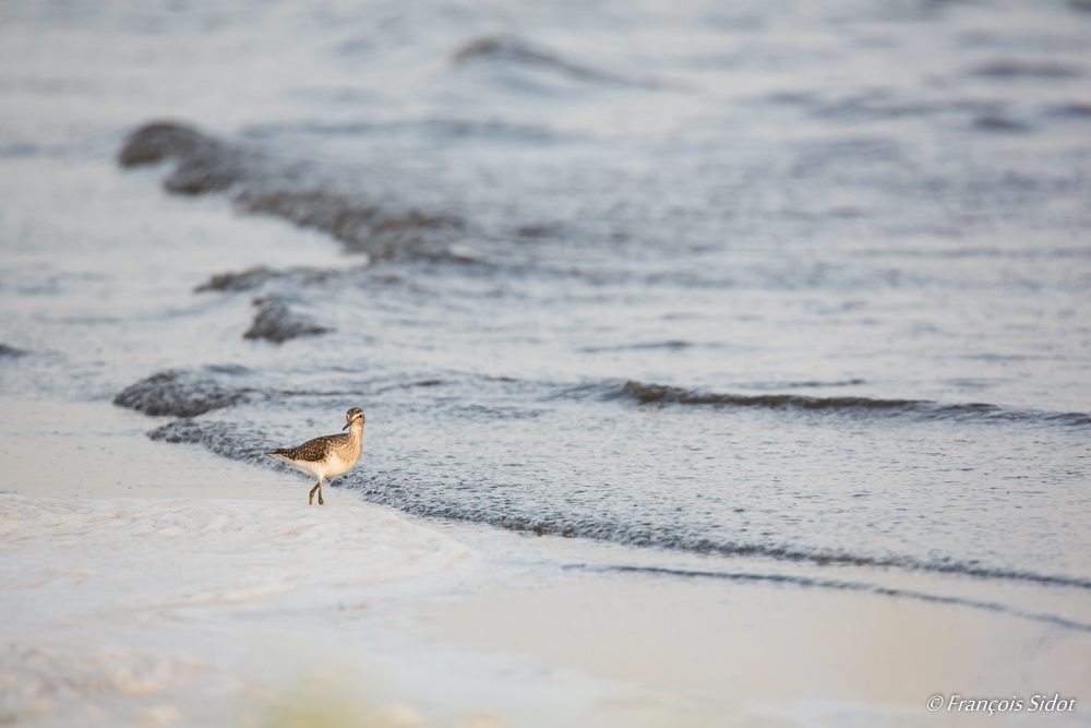 Wood Sandpiper on the beach (Tringa glareola)