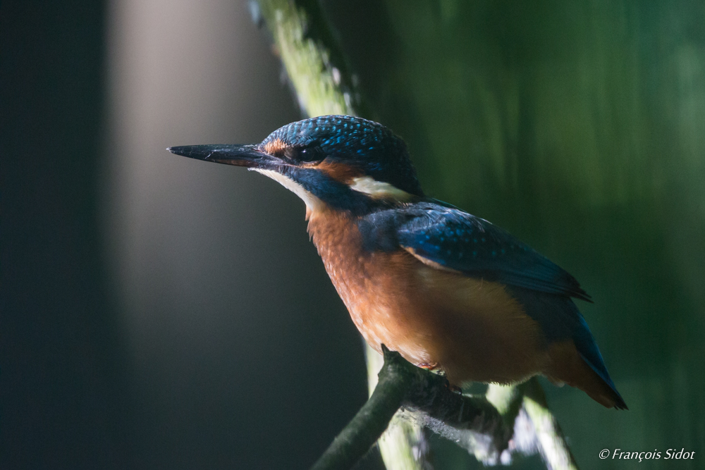 Common Kingfisher portrait (Alcedo atthis)