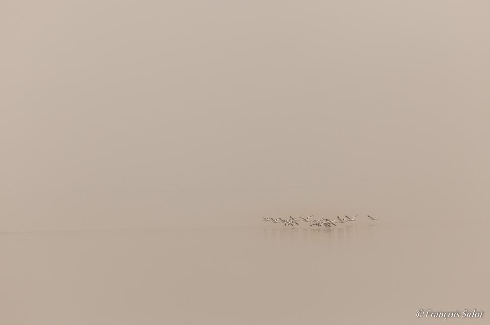 A flock of avocets (recurvirostra avosetta)