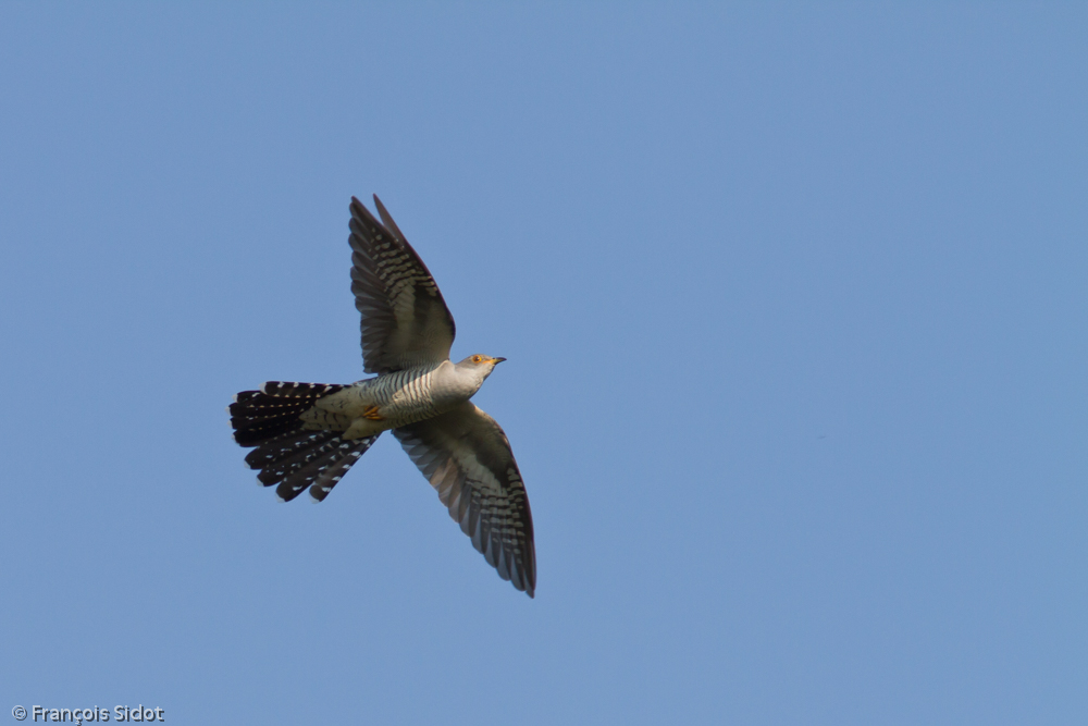 Flying Common Cuckoo