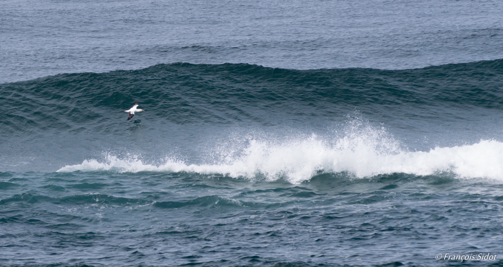 Wave and Australian Gannet (Morus serrator)