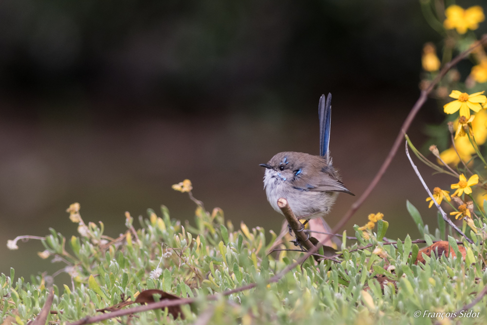Superb Blue Wren (Malurus cyaneus)