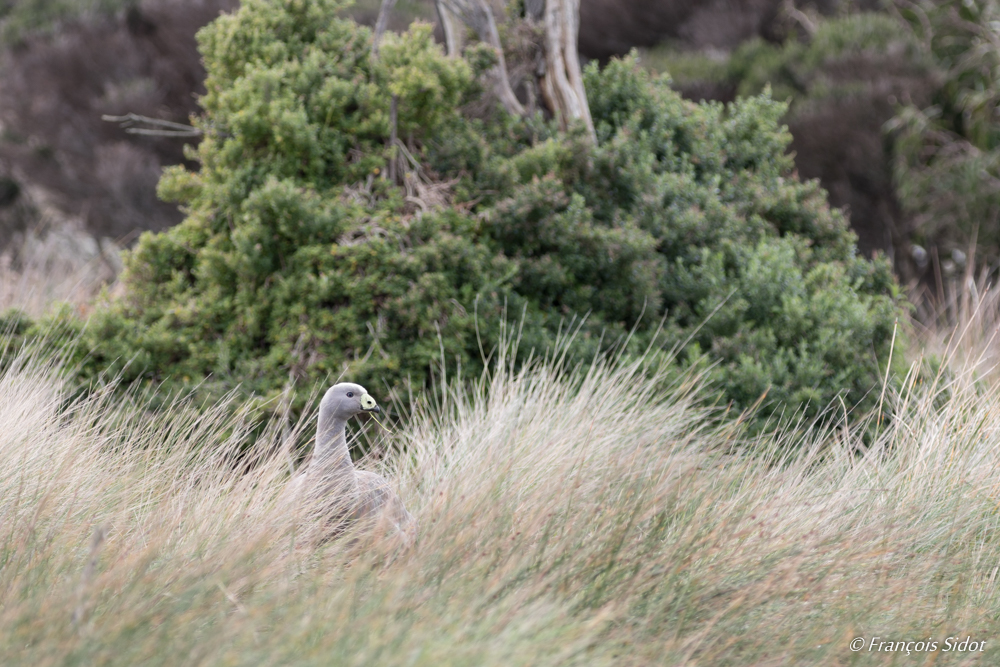 Hidded Cape Barren Goose (cereopsis novaehollandiae)