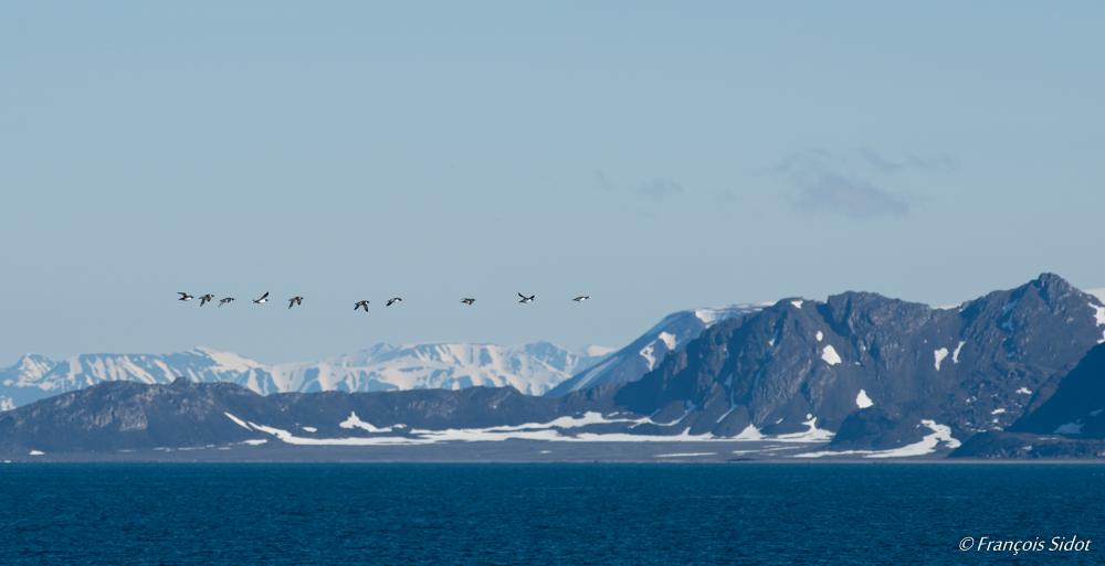 Flying Thick-billed murres (Uria lomvia) and mountains