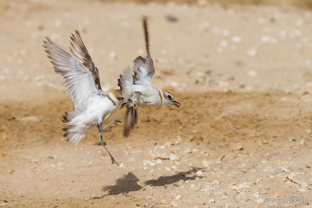 Kentish Plover fight (Charadrius alexandrinus)