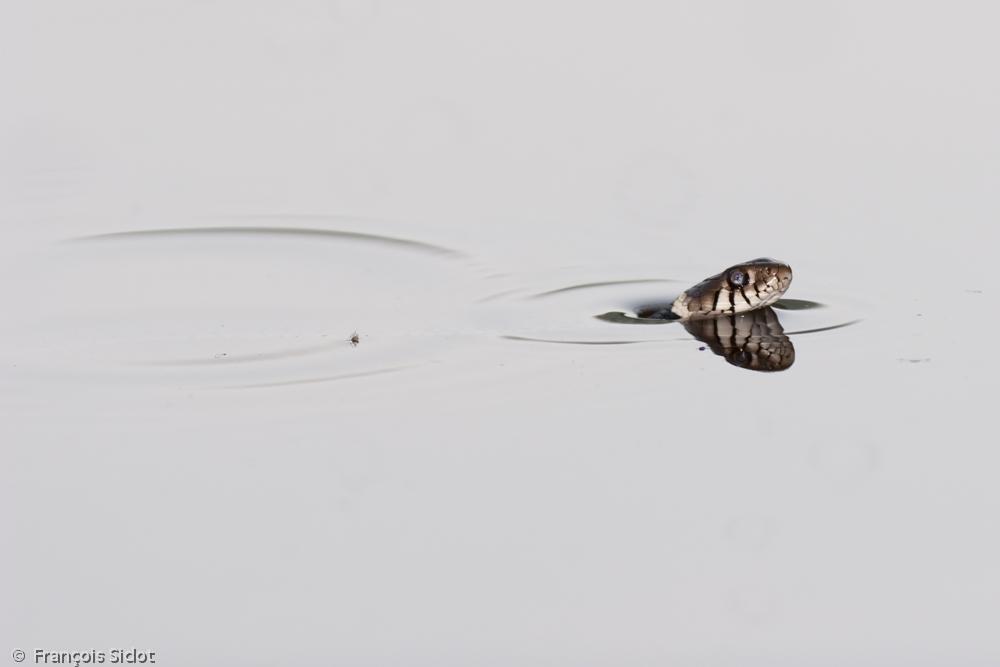 Swimmimg grass snake