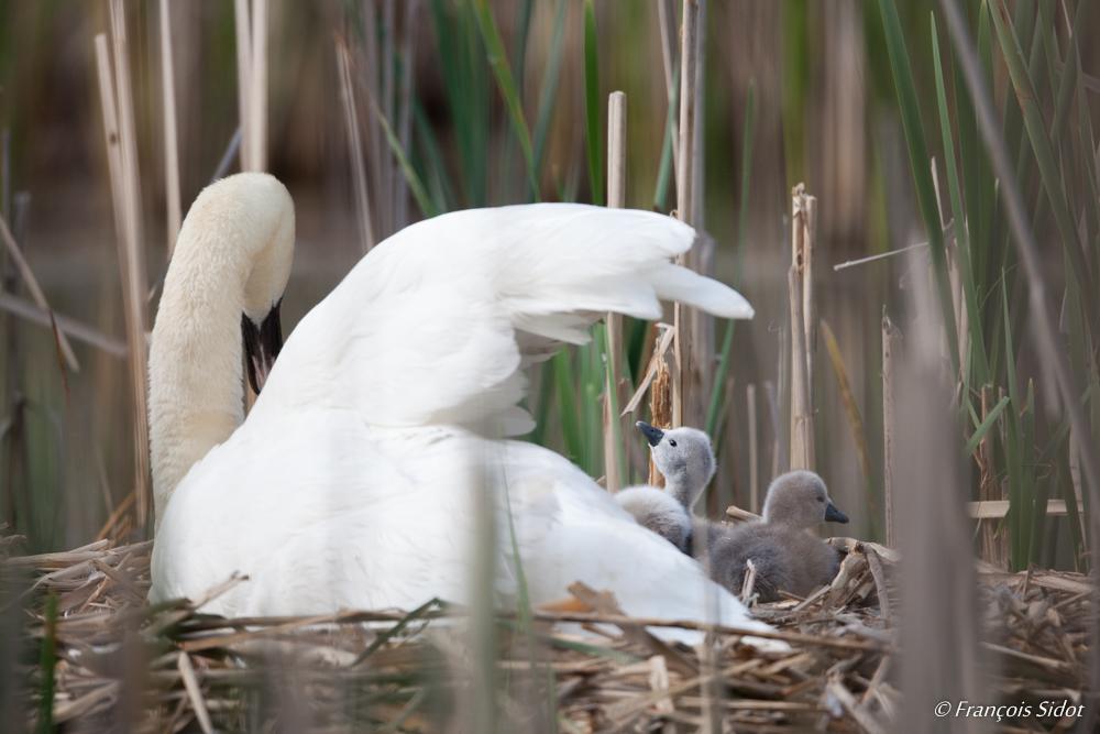 Cygne tuberculé ou muet au nid (Cygnus olor)