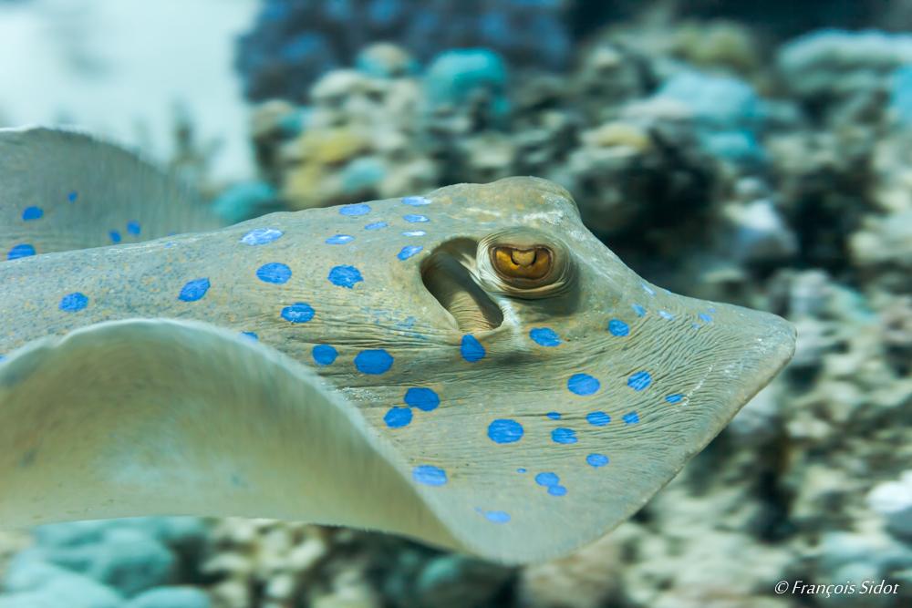 Blue spotted lagoon ray (Taeniura lymma)