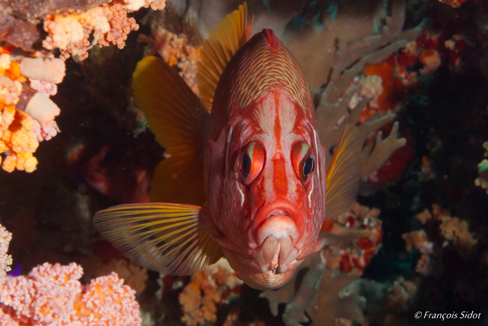 Sabre squirrelfish (Sargocentron spiniferum)