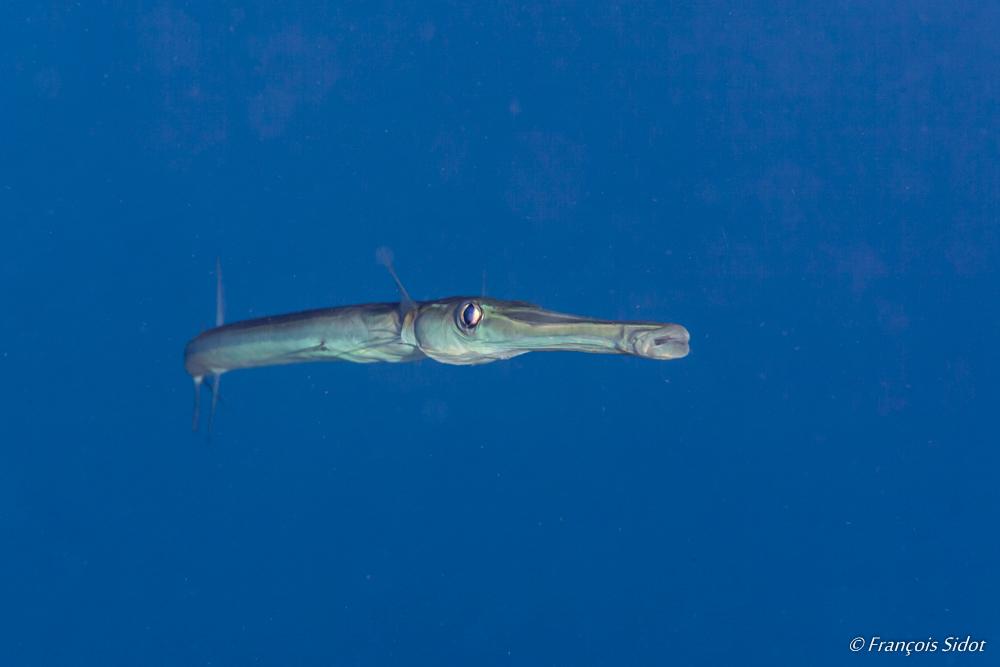 Chinese Trumpetfish (Aulostomus chinensis)