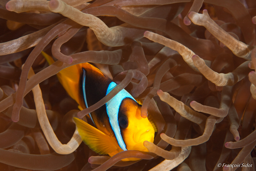 Twoband Anemonefish (Amphiprion bicinctus) and sebae anemone