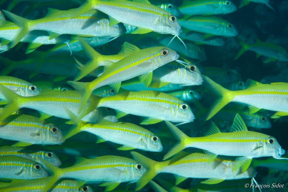 Surmulets à nageoires jaunes (Mulloidichthys vanicolensis)