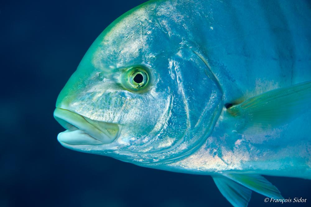 Portrait of Jack fish (Caranx …?)