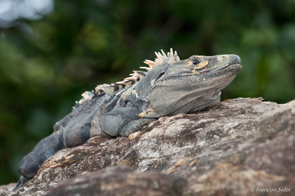 Black spiny-tailed iguana 2 (Ctenosaura similis)