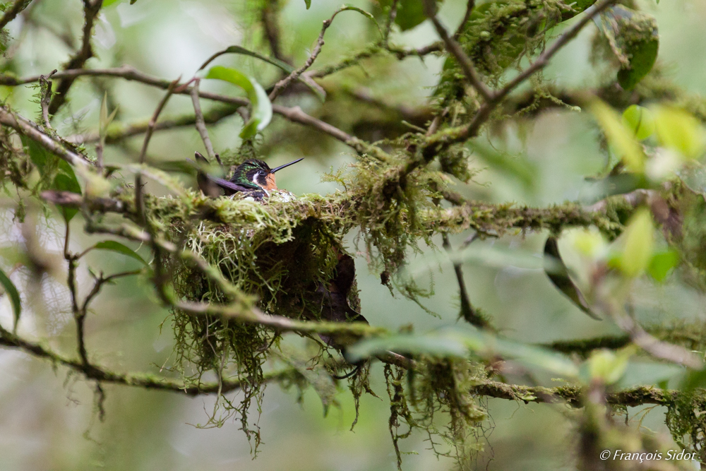 Purple-throated Mountaingem and nest (Lampornis calolaemus)