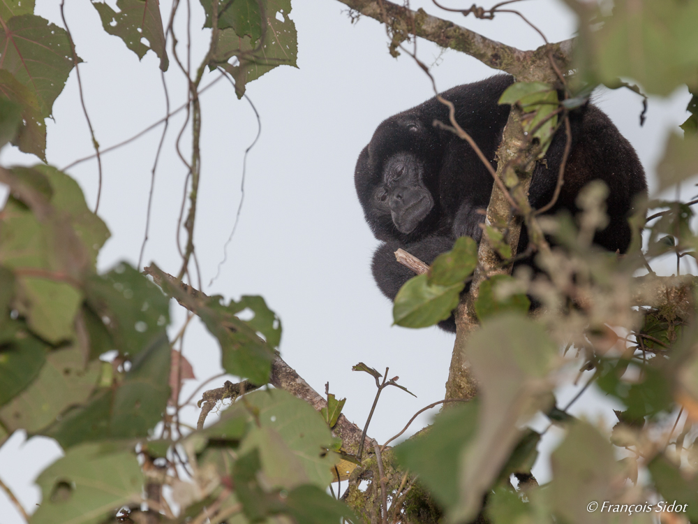 Mantled Howler Monkey (Alouatta palliate)