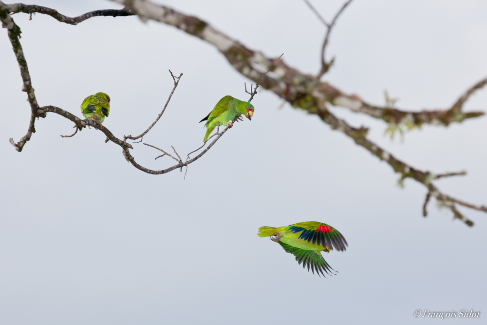 Red-lored Amazon (Amazona autumnalis)