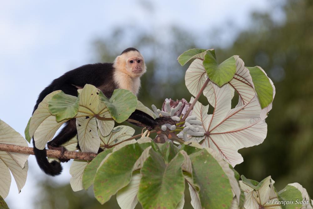 White-Throated Capuchin Monkey (Cebus capucinus)
