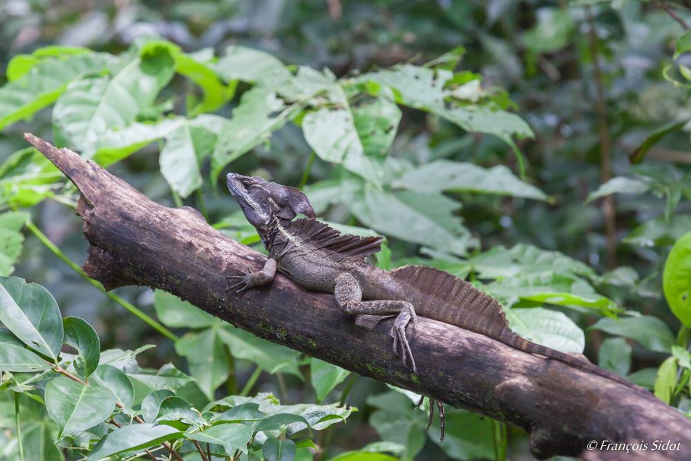 Jesus Christ lizards (Basiliscus basiliscus)