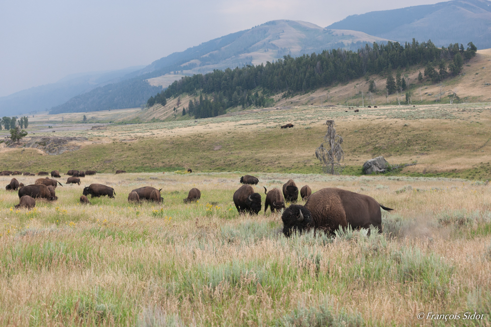 Bisons dans le Yellowstone