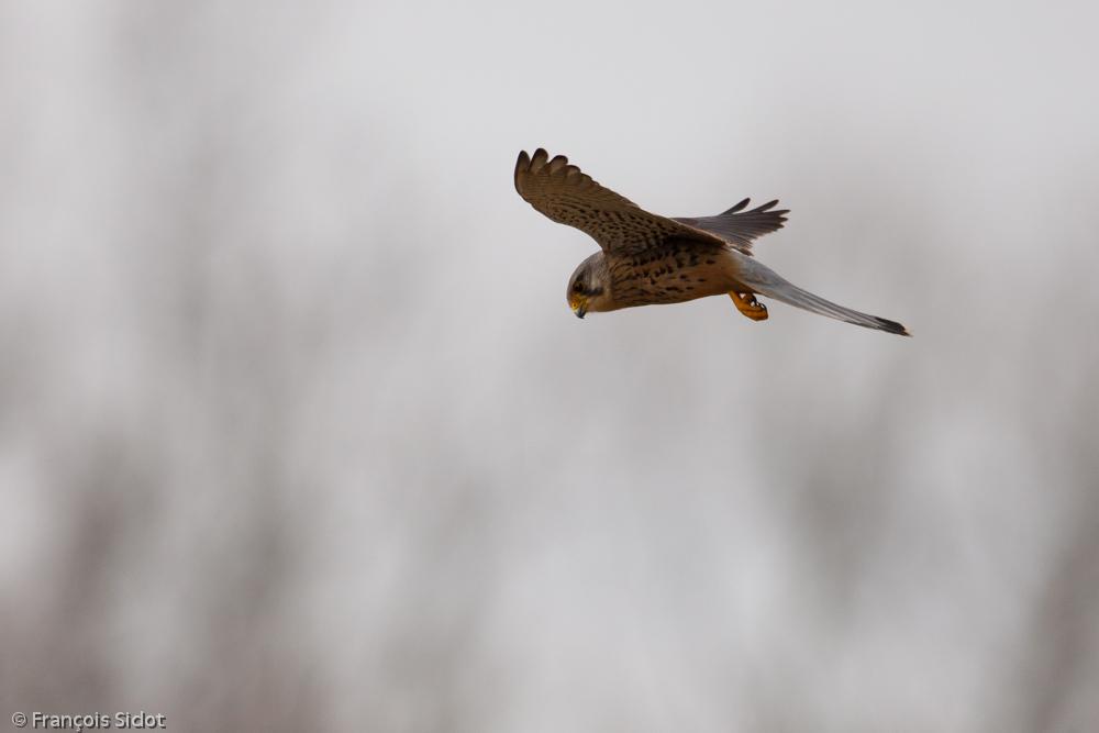 Faucon crécerelle en vol (Falco tinnunculus)
