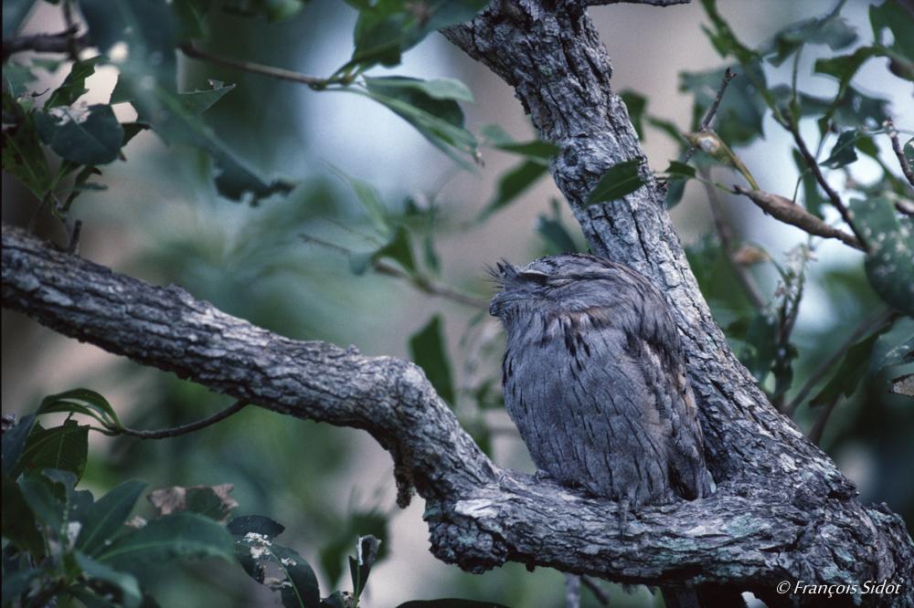 Podarge gris (Podargus strigoides)