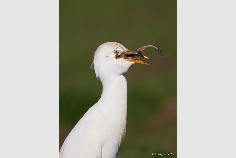 Héron garde-boeufs et grenouille (Bubulcus ibis)