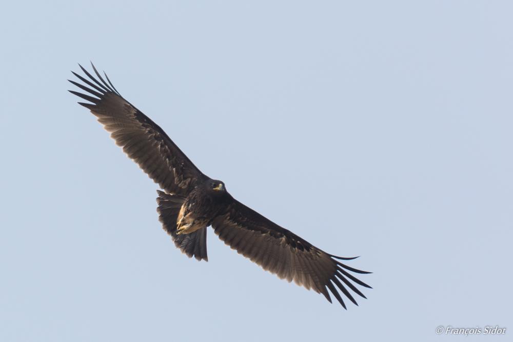 Aigle criard (Aquila clanga)