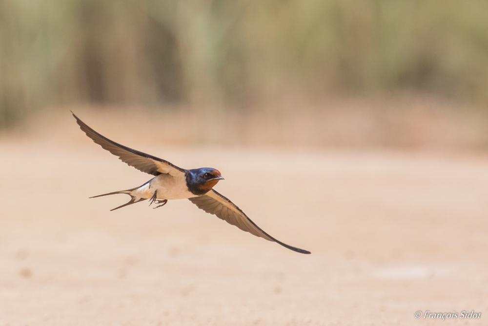 Hirondelle rustique en vol (Hirundo rustica)