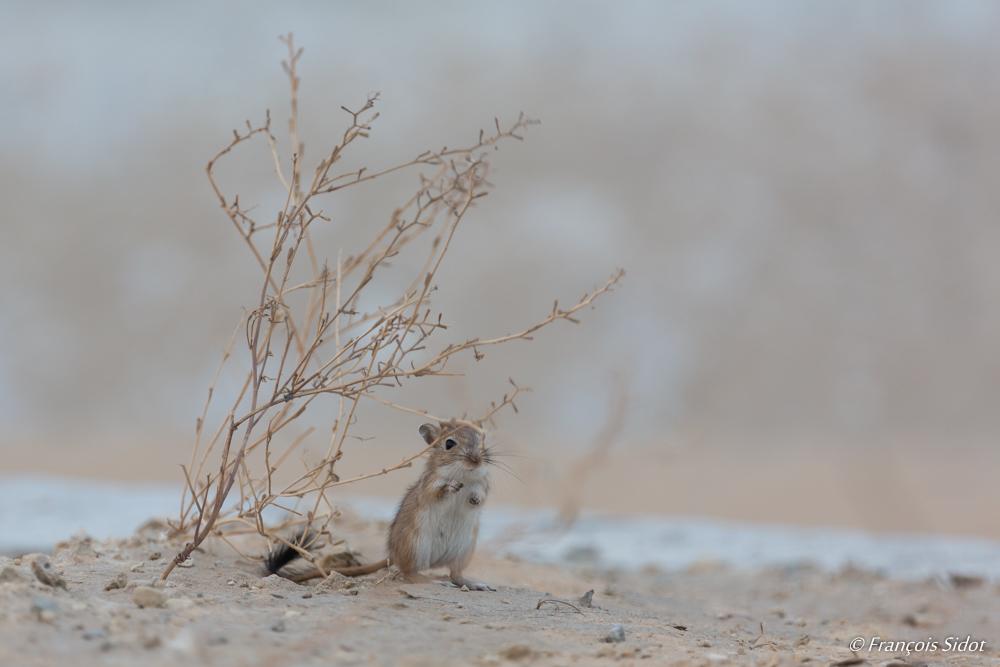 Mérione du désert (Meriones crassus)