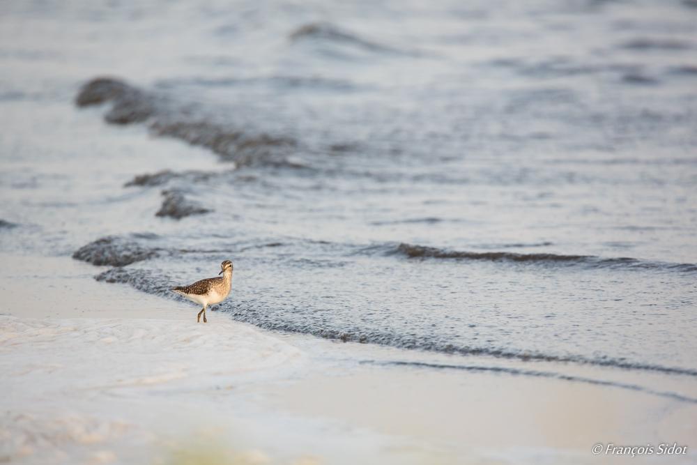 Chevalier Sylvain sur la plage (Tringa glareola)