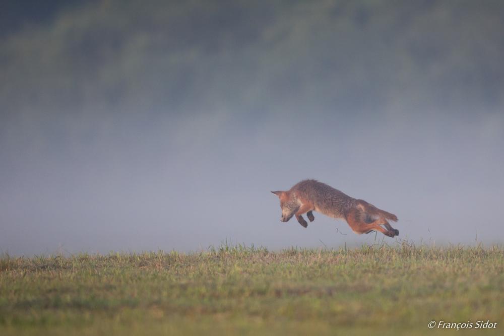 Renard roux à la chasse au mulot