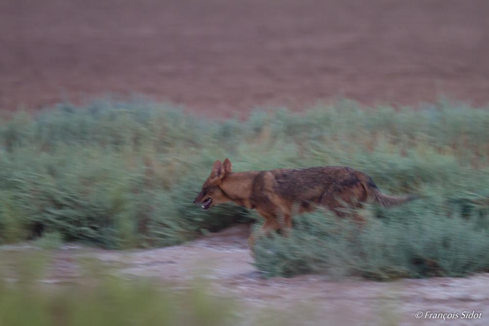 Loup d'Arabie (Canis lupus arabs)