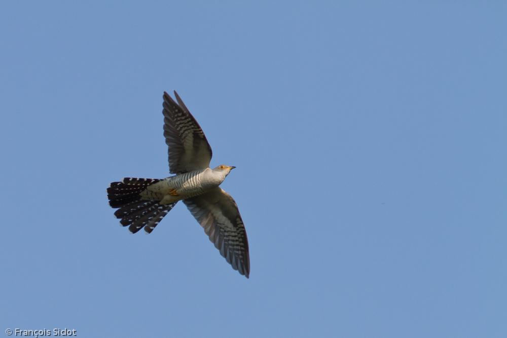 Coucou gris en vol (Cuculus canorus)