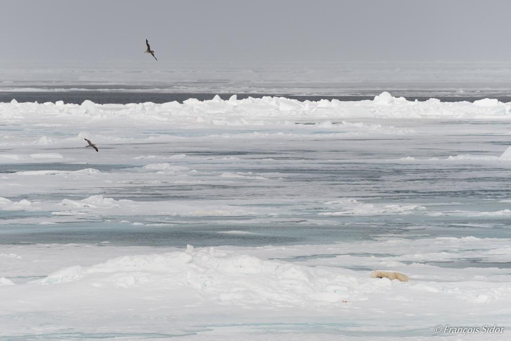 Ours polaire et pétrels fulmar (Ursus maritimus)