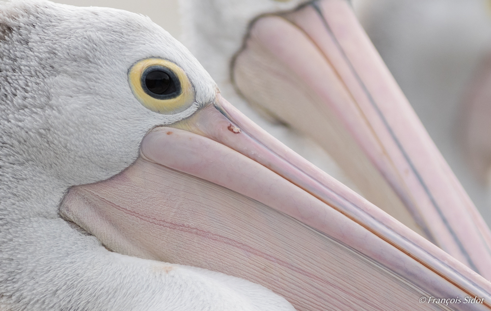 Portrait de Pélican à lunette (pelecanus conspicillatus)