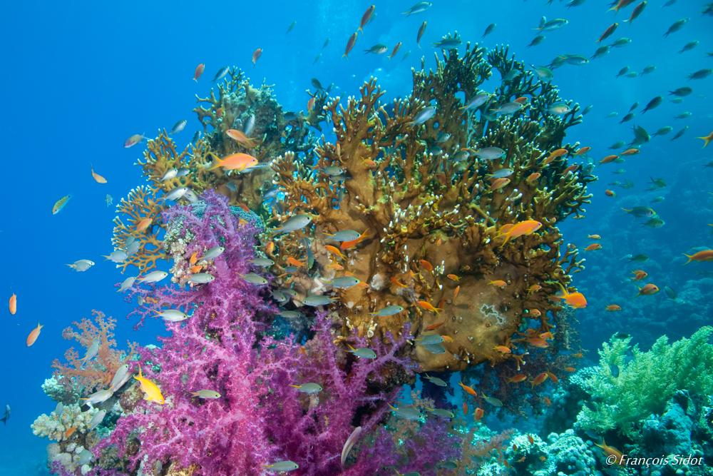Patate de corail et poissons