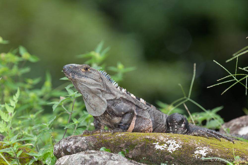 Iguane noir 1 (Ctenosaura similis)