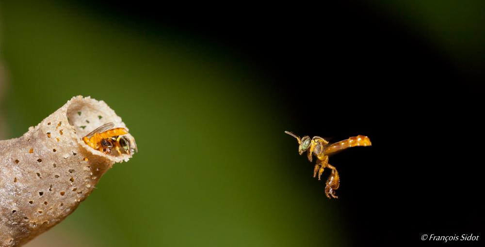 Abeille (Trigona fulviventris)